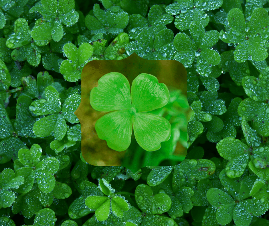 March 17 2019 Searching For Four Leaf Clovers Dreamscape